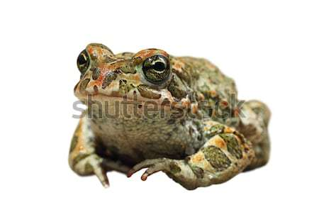 cute european green toad on white background Stock photo © taviphoto