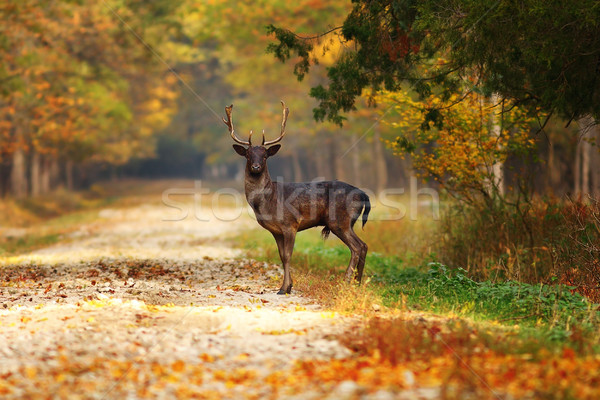 majestic fallow deer stag on forest road Stock photo © taviphoto