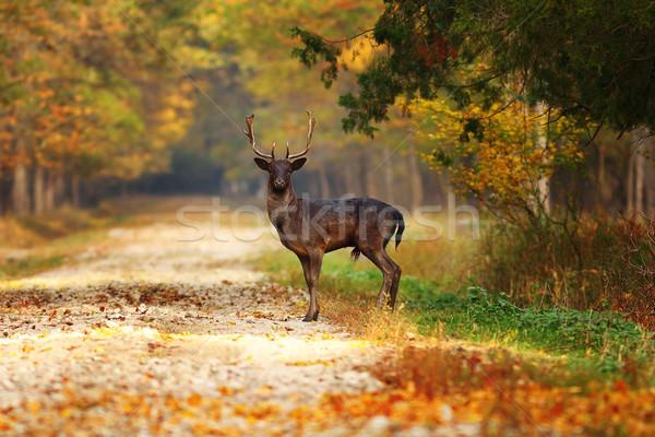 Majestueux cerfs forêt route saison d'automne nature Photo stock © taviphoto