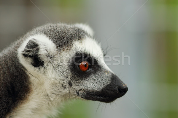 portrait of ring tailed lemur Stock photo © taviphoto