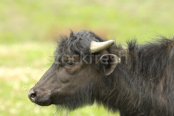 profile of juvenile water buffalo Stock photo © taviphoto