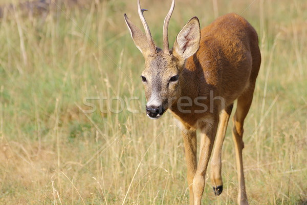 roe deer buck approaching Stock photo © taviphoto