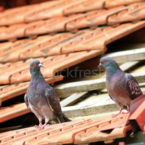 pair of pigeons on damaged roof Stock photo © taviphoto