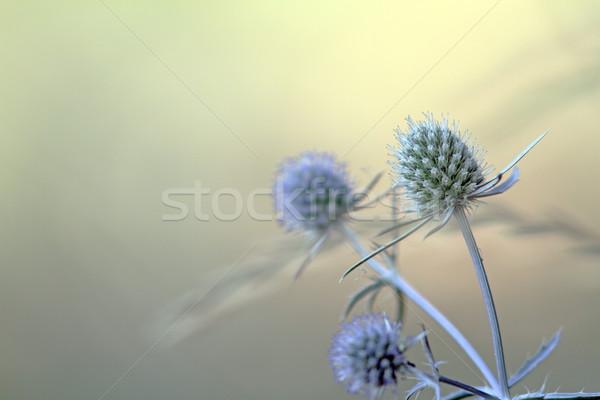 blue sea holly Stock photo © taviphoto