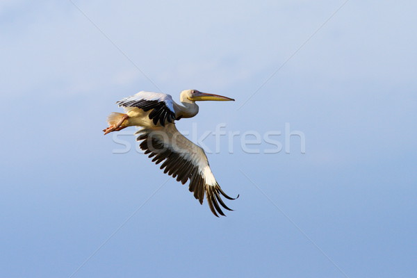 pelican with wings spread Stock photo © taviphoto