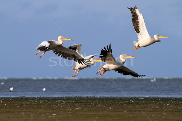 group of pelecanus onocrotalus in air Stock photo © taviphoto
