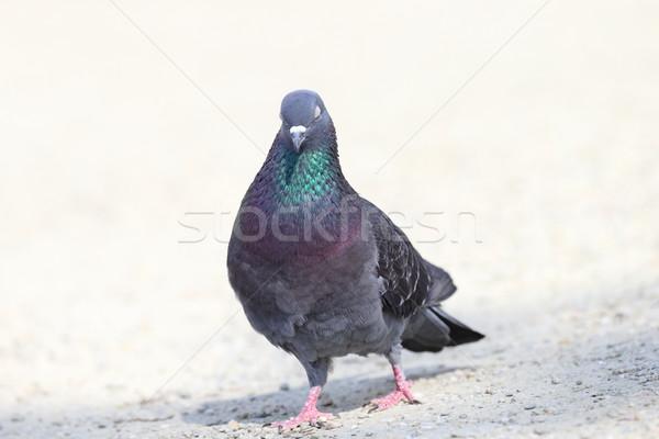 sleepy pigeon Stock photo © taviphoto