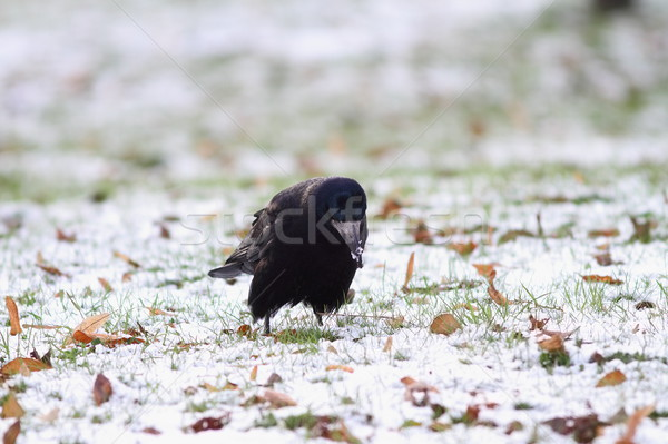Czarny linii nasion parku charakter śniegu Zdjęcia stock © taviphoto