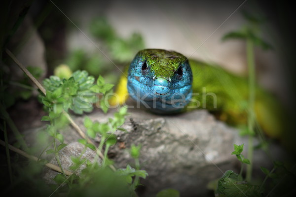 lacerta viridis in mating season Stock photo © taviphoto