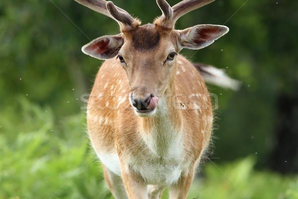 male fallow deer portrait Stock photo © taviphoto