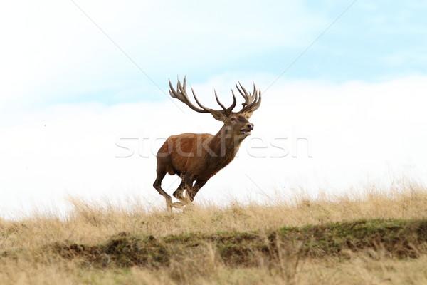 male red deer running wild Stock photo © taviphoto