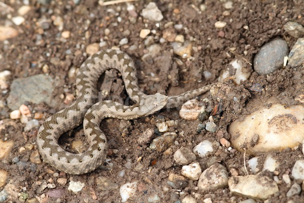 small vipera ammodytes Stock photo © taviphoto