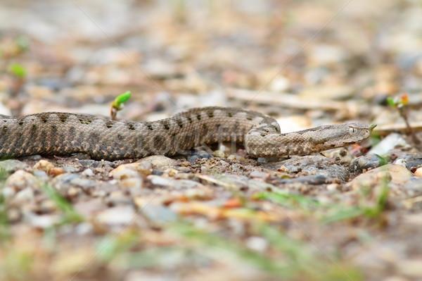 Juvenil europeo arena naturaleza retrato serpiente Foto stock © taviphoto