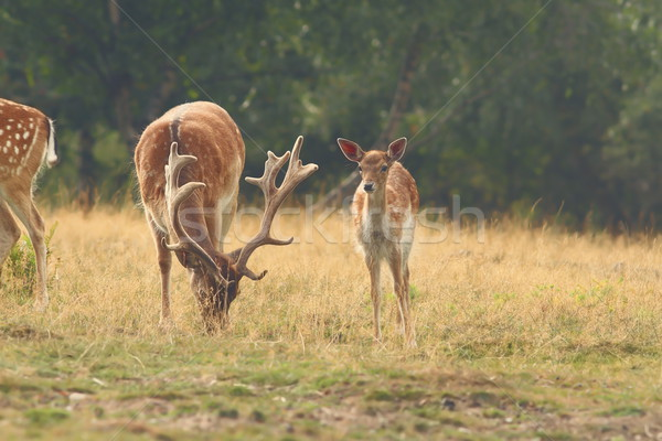 herd of fallow deers in clearing Stock photo © taviphoto
