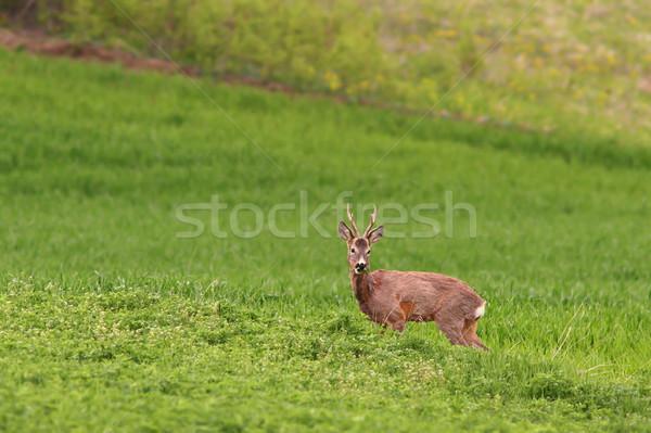 beautiful roe deer buck grazing in alfalfa field Stock photo © taviphoto