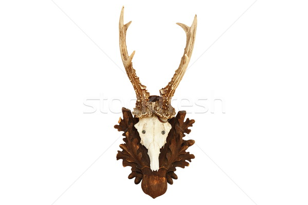 isolated capreolus hunting trophy Stock photo © taviphoto