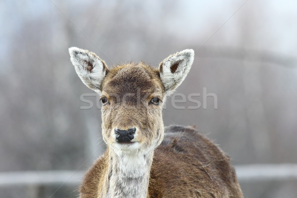 deer hind portrait Stock photo © taviphoto