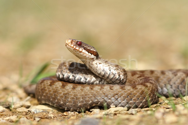 beautiful Vipera berus Stock photo © taviphoto