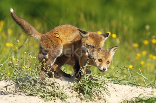 fox cubs eating meat Stock photo © taviphoto