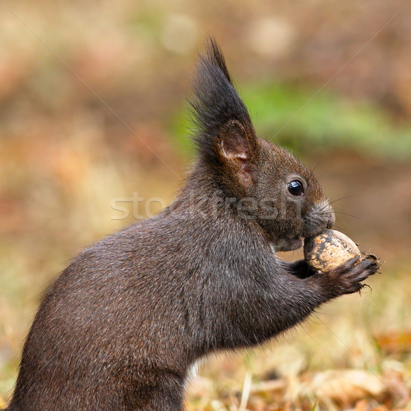 Stock photo: closeup of wild red squirrel eating nut