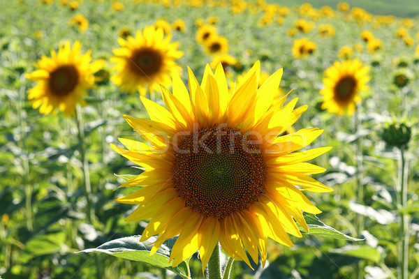 closeup of common sunflower Stock photo © taviphoto