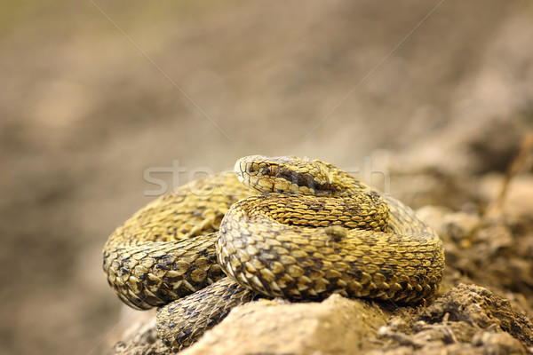 beautiful meadow viper basking in natural environment Stock photo © taviphoto