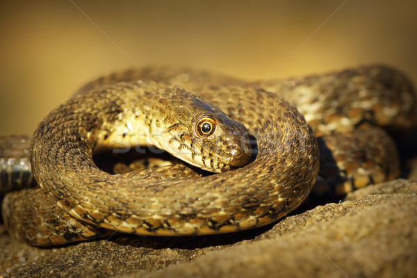 dice snake showing thanatosis Stock photo © taviphoto