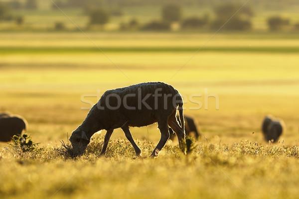 sheep grazing in morning light Stock photo © taviphoto