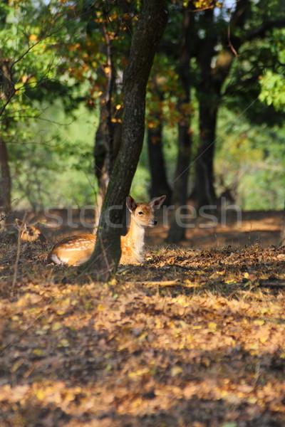 young fallow deer Stock photo © taviphoto