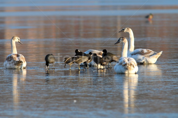 coots and swans flock standing on ice Stock photo © taviphoto