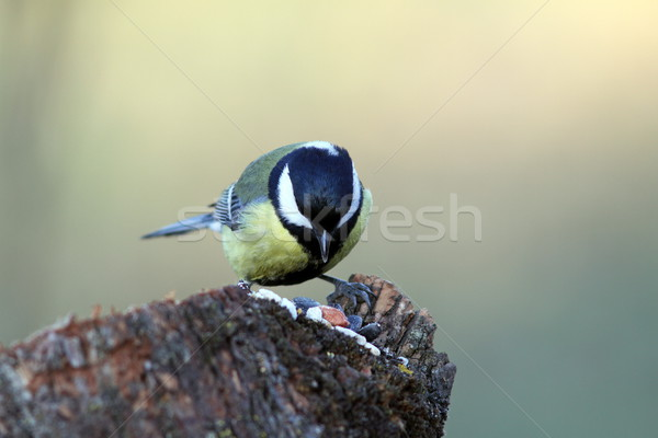great tit looking for seeds Stock photo © taviphoto