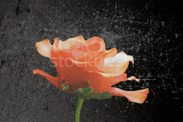 beautiful red rose scratched layer Stock photo © taviphoto