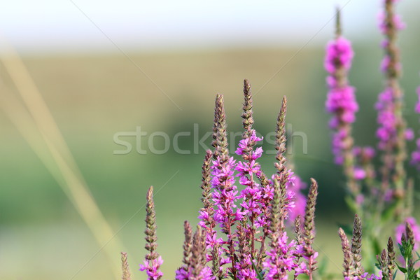 purple wild flowers growing in summer Stock photo © taviphoto