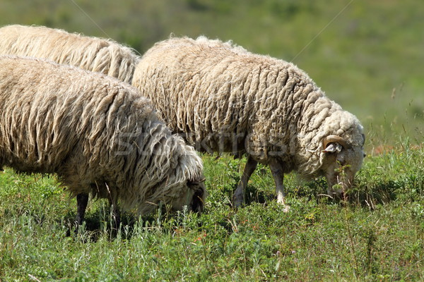 white sheep grazing Stock photo © taviphoto