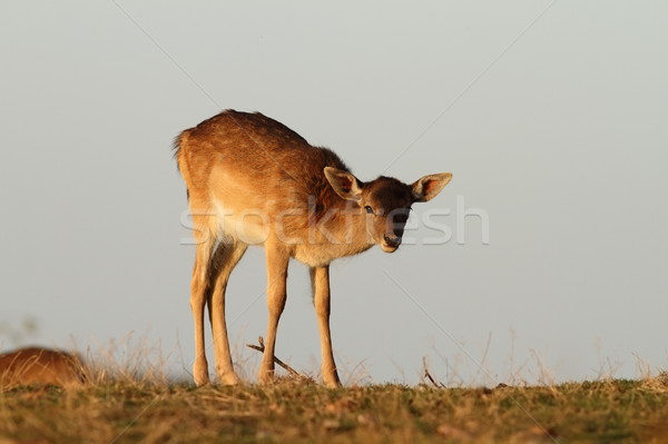 fallow deer calf looking at camera Stock photo © taviphoto