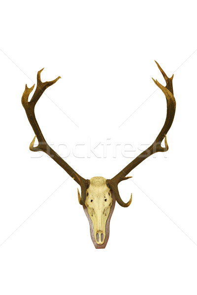 red deer buck isolated hunting trophy Stock photo © taviphoto