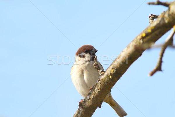 Masculino pardal ramo casa primavera Foto stock © taviphoto