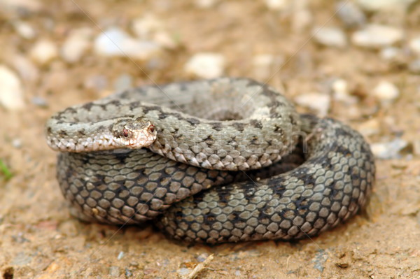 european common adder ready to strike  Stock photo © taviphoto