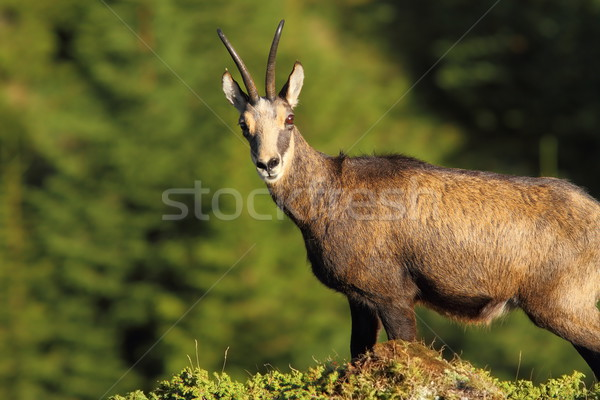 wild chamois looking at the camera Stock photo © taviphoto