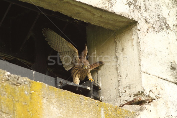 falco tinnunculus juvenile learning to fly Stock photo © taviphoto