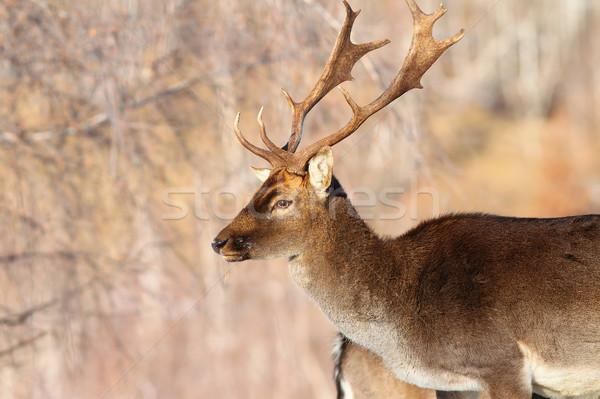 Homme cerfs portrait nature paysage cheveux Photo stock © taviphoto