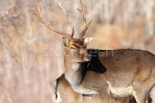 outdoor portrait of fallow deer buck Stock photo © taviphoto