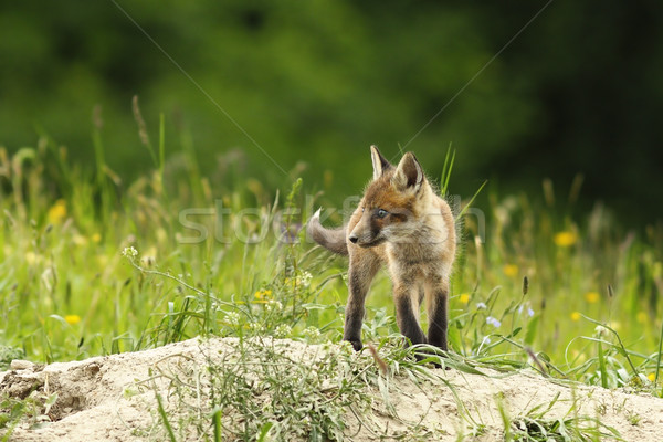 cute fox cub near the burrow Stock photo © taviphoto
