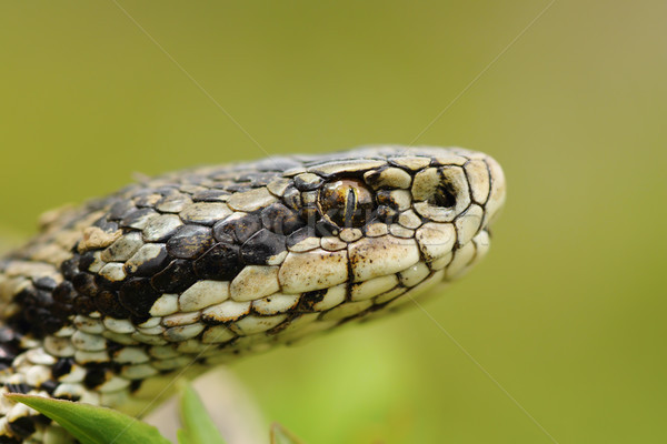 macro portrait of the elusive hungarian meadow viper Stock photo © taviphoto