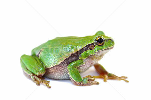colorful green tree frog on white background Stock photo © taviphoto