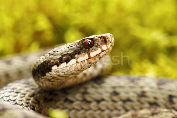 beautiful portrait of common european viper Stock photo © taviphoto