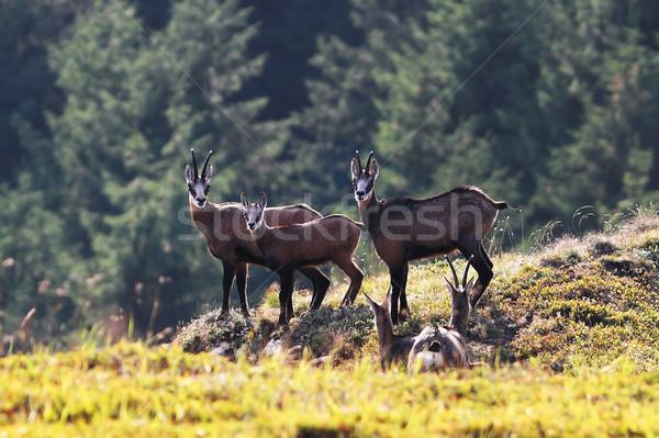 chamois family in the mountains Stock photo © taviphoto