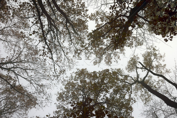 abstract view of forest canopy in misty morning Stock photo © taviphoto