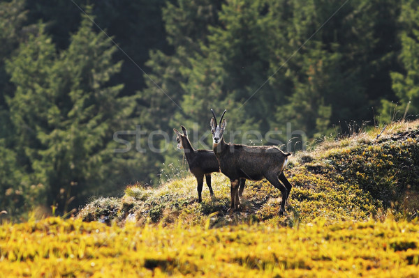 Stock photo: chamois goats in natural environment