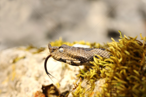 portrait of nose horned viper Stock photo © taviphoto
